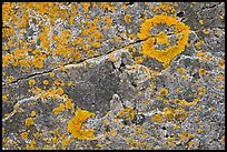 Close-up of lichen on granite, Schoodic Peninsula. Acadia National Park ( color)