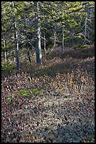 Bare berry plants and conifers, Bowditch Mountain, Isle Au Haut. Acadia National Park ( color)