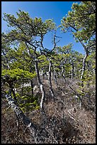 Stunted pines, Isle Au Haut. Acadia National Park ( color)