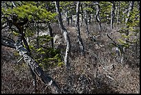 Twisted pine trees, Isle Au Haut. Acadia National Park, Maine, USA.