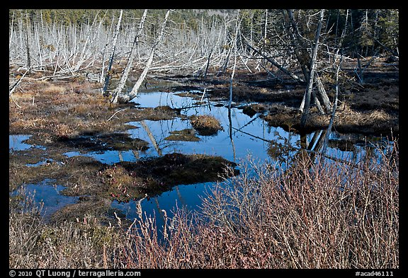 Tree skeletons and swamp, Isle Au Haut. Acadia National Park (color)