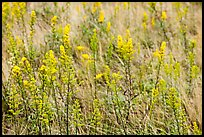 Goldenrods (Solidago) close-up. Acadia National Park, Maine, USA. (color)