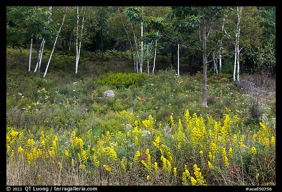 Goldenrod flowers and birch trees. Acadia National Park (color)