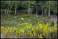 Goldenrod flowers and birch trees. Acadia National Park ( color)