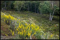 Summer meadow with wildflowers at forest edge. Acadia National Park ( color)
