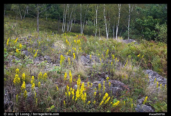 Meadow bordered by trees, with summer flowers. Acadia National Park (color)