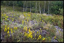 Meadow bordered by trees, with summer flowers. Acadia National Park ( color)