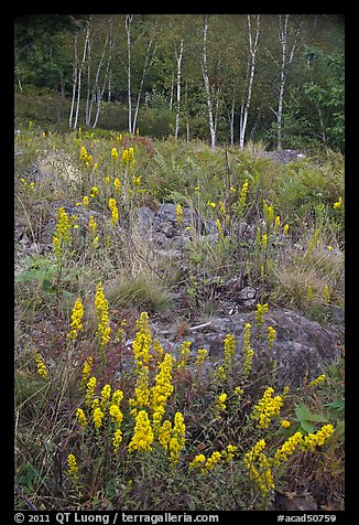 Goldenrods and birches. Acadia National Park (color)