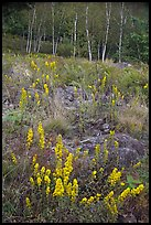 Goldenrods and birches. Acadia National Park ( color)