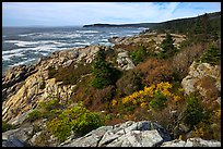 Berry foliage on jagged coast. Acadia National Park, Maine, USA. (color)