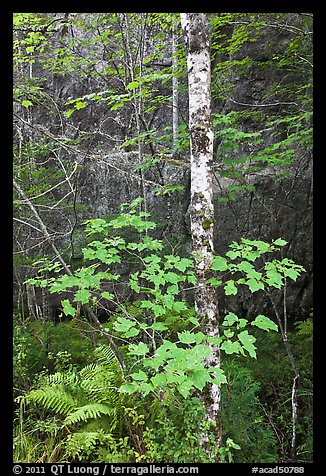 Vine maple and birch tree, and cliff in summer. Acadia National Park, Maine, USA.