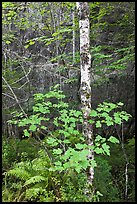 Vine maple and birch tree, and cliff in summer. Acadia National Park, Maine, USA. (color)