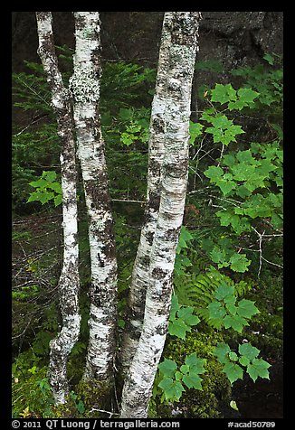 Maple leaves and birch trunks in summer. Acadia National Park (color)