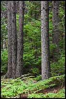 Pines and ferns. Acadia National Park ( color)