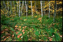 Grasses, fallen leaves, birches. Acadia National Park, Maine, USA.