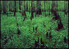 Dry swamp with cypress knees in summer. Congaree National Park, South Carolina, USA. (color)
