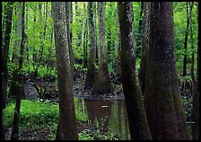 Swamp with bald Cypress and tupelo in summer. Congaree National Park, South Carolina, USA.