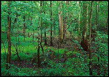 New undercanopy growth in summer. Congaree National Park, South Carolina, USA. (color)