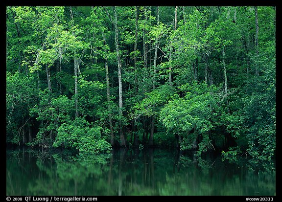 Trees reflected in pond in summer. Congaree National Park (color)