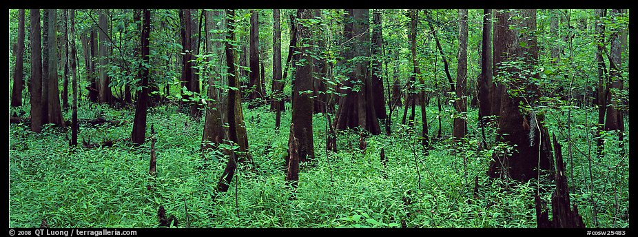Green forest with cypress knees in summer. Congaree National Park (color)
