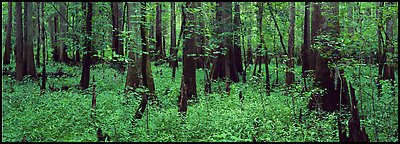 Green forest with cypress knees in summer. Congaree National Park (Panoramic color)