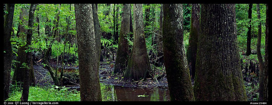 Green swamp forest in summer. Congaree National Park (color)