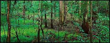 Floodplain hardwood forest in summer. Congaree National Park (Panoramic color)
