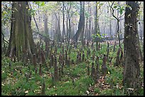 Cypress knees in misty forest. Congaree National Park, South Carolina, USA.