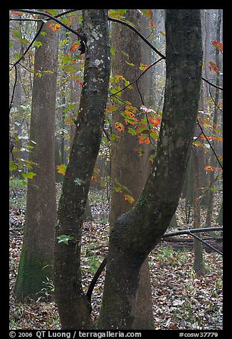 Maple leaves in fall color and floodplain trees. Congaree National Park, South Carolina, USA.