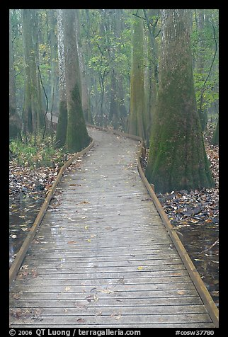 Low boardwalk in misty weather. Congaree National Park, South Carolina, USA.