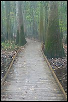 Low boardwalk in misty weather. Congaree National Park, South Carolina, USA. (color)