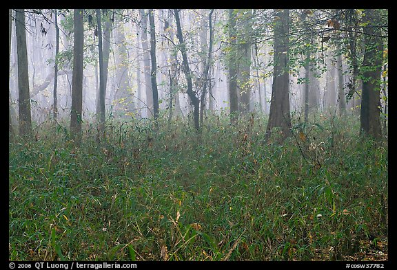 Bamboo and forest in fog. Congaree National Park (color)