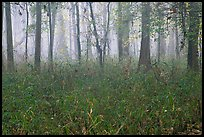 Bamboo and forest in fog. Congaree National Park, South Carolina, USA. (color)