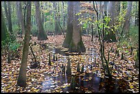 Cypress and knees in slough with fallen leaves. Congaree National Park, South Carolina, USA. (color)