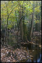 Trees with fall color in slough. Congaree National Park, South Carolina, USA. (color)