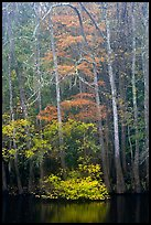 Fall colors at the edge of Weston Lake. Congaree National Park, South Carolina, USA. (color)