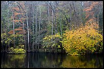Cypress trees and autumn colors, Weston Lake. Congaree National Park, South Carolina, USA. (color)
