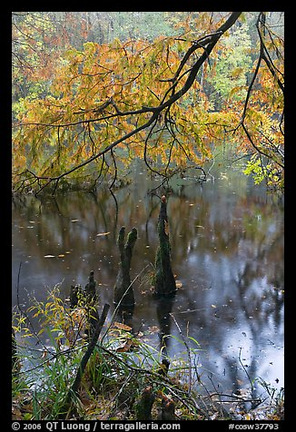 Branch of cypress in fall color overhanging above Weston Lake. Congaree National Park (color)
