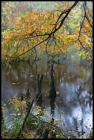 Branch of cypress in fall color overhanging above Weston Lake. Congaree National Park, South Carolina, USA.