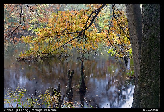 Bald cypress and branch with needles in fall color at edge of Weston Lake. Congaree National Park, South Carolina, USA.