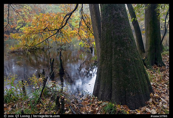 Bald cypress in fall color at edge of Weston Lake. Congaree National Park, South Carolina, USA.