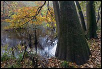 Bald cypress in fall color at edge of Weston Lake. Congaree National Park, South Carolina, USA. (color)