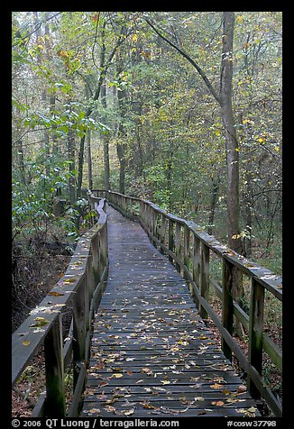 High boardwalk with fallen leaves. Congaree National Park (color)