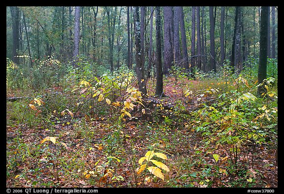 Undergrowth in pine forest. Congaree National Park (color)