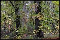 Trees with fall colors and spanish moss. Congaree National Park, South Carolina, USA.