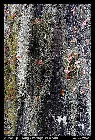 Close-up of spanish moss on trunk. Congaree National Park, South Carolina, USA.