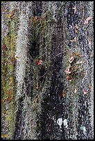 Close-up of spanish moss on trunk. Congaree National Park, South Carolina, USA. (color)