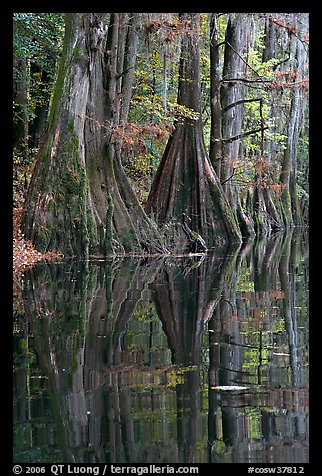 Cypress buttresses reflected in Cedar Creek. Congaree National Park (color)