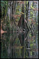 Cypress buttresses reflected in Cedar Creek. Congaree National Park, South Carolina, USA. (color)