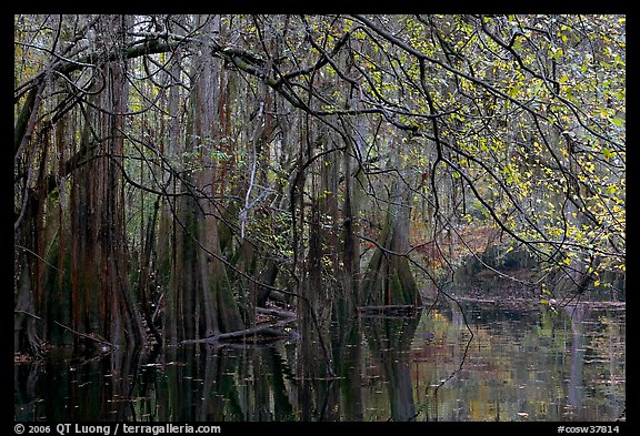 Bald cypress, spanish moss, and branches with fall colors over Cedar Creek. Congaree National Park (color)